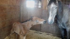 Itza BEL saying hello to her dam Ellarema BEL